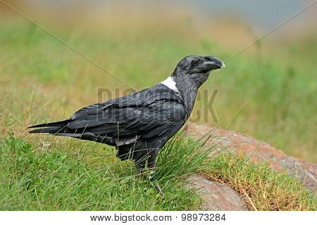 A white-necked raven (Corvus albicollis), South Africa