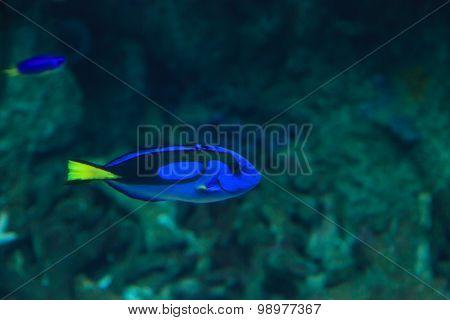 Palette tang fish, Paracanthurus hepatus