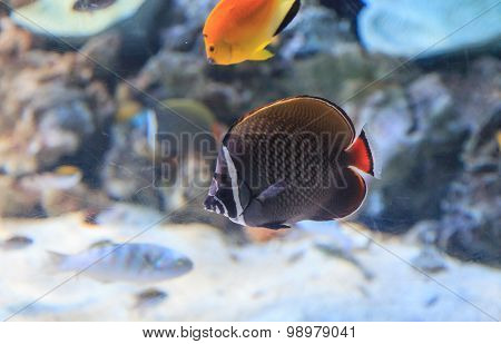 Redtailed butterflyfish, Chaetodon collare