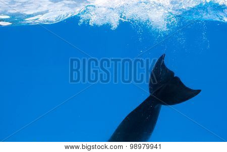 Dolphin underwater. Only fin seen