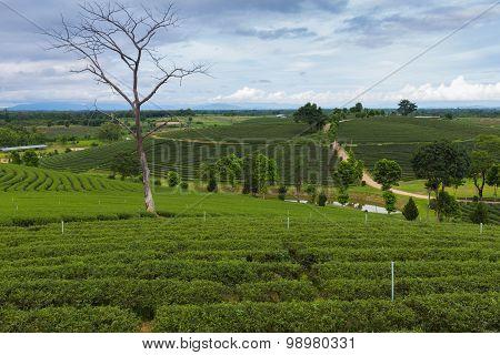 Green tea plantation along with abandon long tree