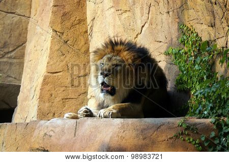 African Lion on a Ledge