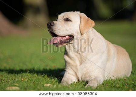 adorable yellow labrador dog outdoors