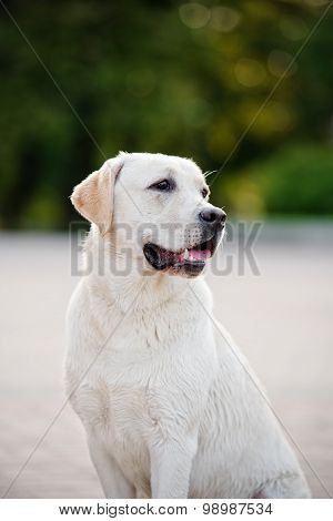 adorable yellow labrador dog