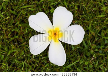 Frangipani Flower Or Plumeria On Grass