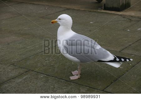 Herring gull stood on a pavement looking mean