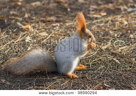 Beautiful Eurasian red squirrel