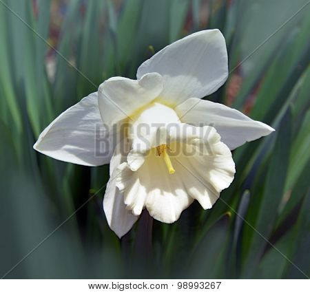 Narcissus  on a dark background in a garden on a dark background in a garden
