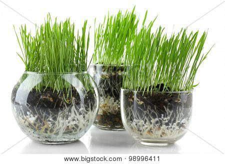 Green grass in transparent pots, isolated on white