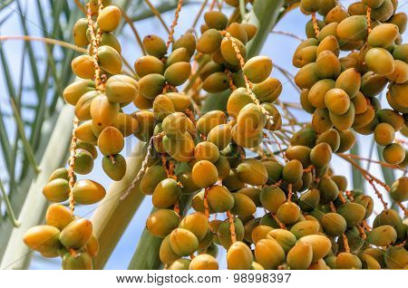 Closeup of colourful dates clusters