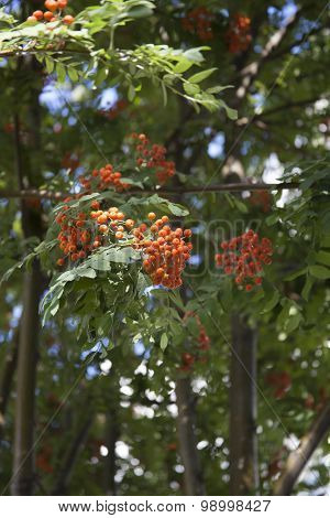 Orange  bunches of rowan grow on a branch