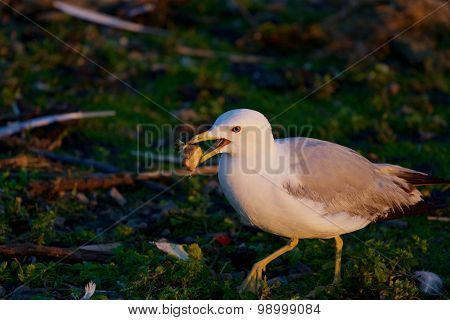 The Gull Is Going Somewhere With The Food