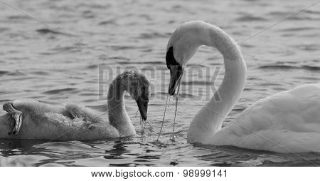 The Mother-swan And Her Son Are Eating Together