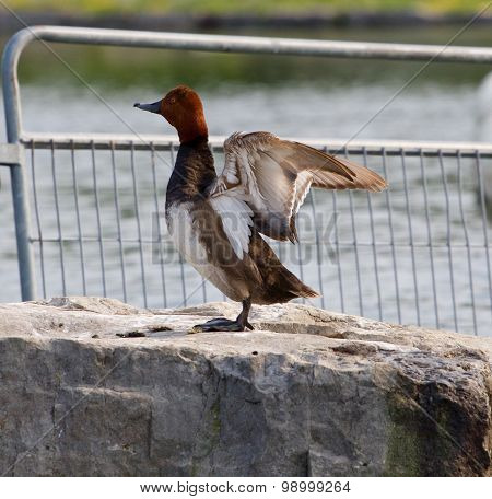 The Redhead Duck Spreads The Wings