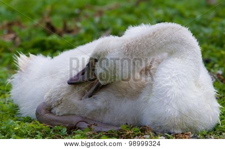 The Close-up Of The Young Swan Cleaning Her Feathers