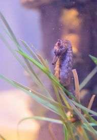 picture of pot-bellied  - Pot bellied seahorse - JPG