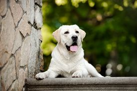 picture of labrador  - young yellow labrador dog outdoors in summer - JPG