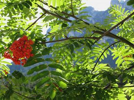 pic of mountain-ash  - Mountain ash Sorbus Bush with red berries and Dolomites background - JPG