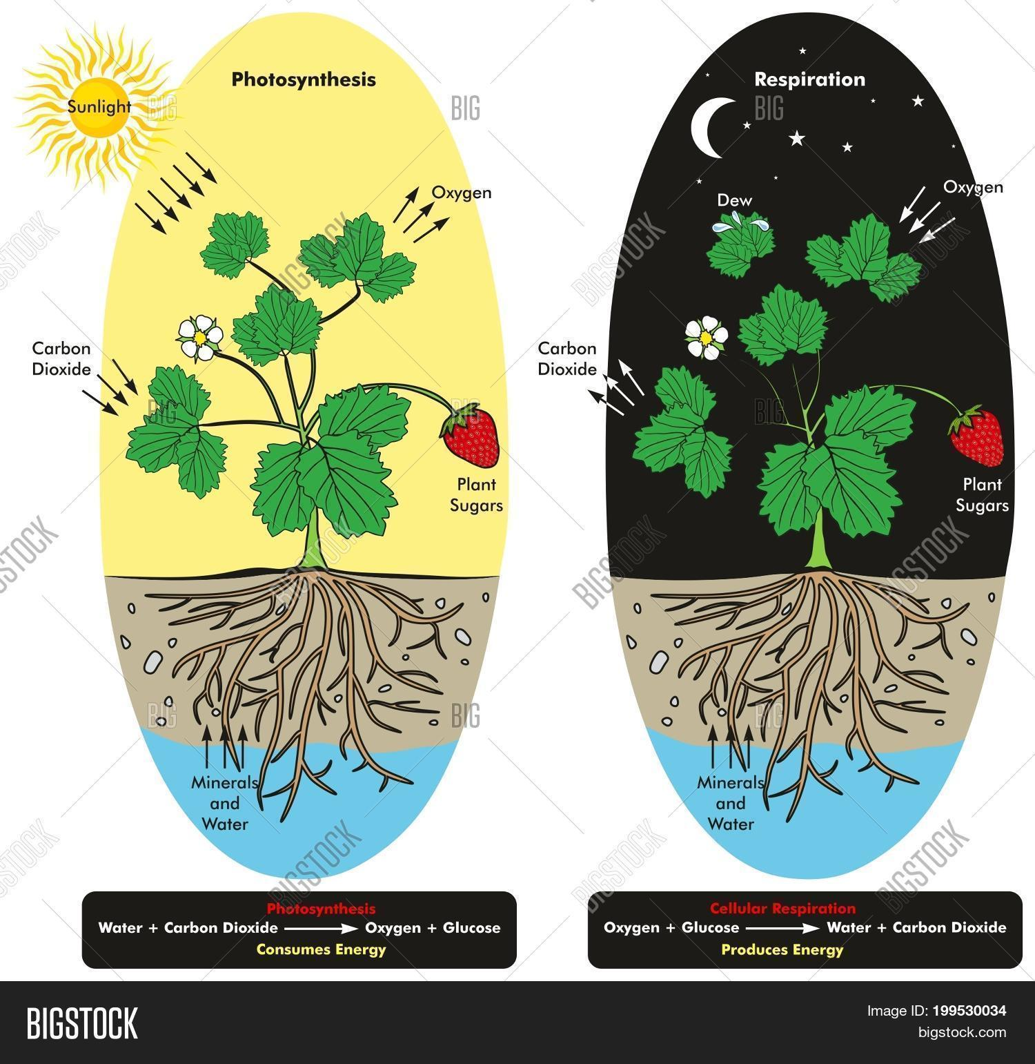Photosynthesis cellular respiration image photo bigstock photosynthesis and cellular respiration process of plant during day and night time infographic diagram showing comparison ccuart Gallery