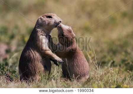 Prairie Dog Kiss