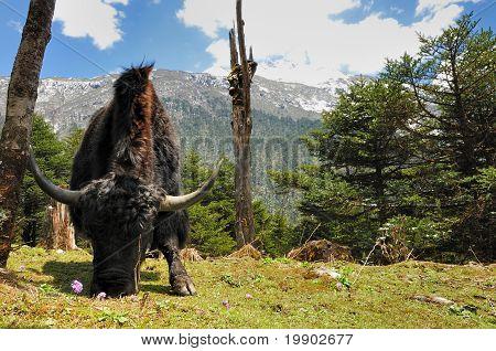 Himalayan Yak pastando