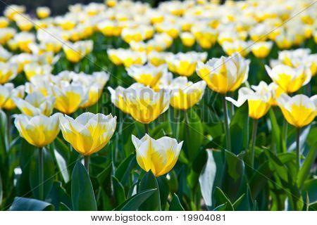Tulipanes - Jaap Groot variedades