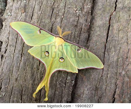 Luna Moth, Actias Luna