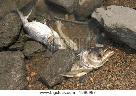 Dead Fish1