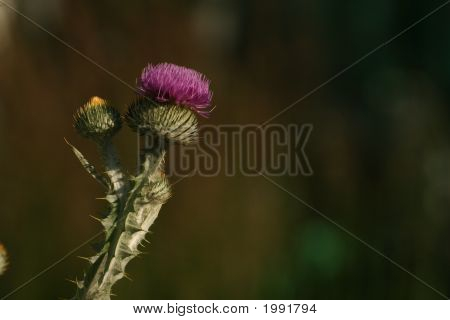 Onopordum Acanthium (The Cotton Or Scotch Thistle)
