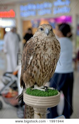 Captive Arabian Falcon