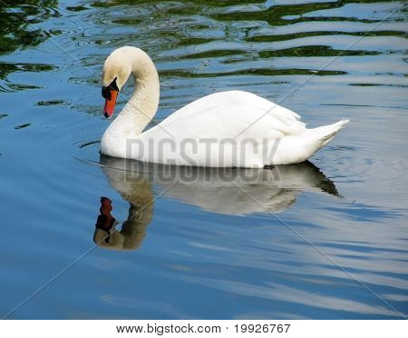 White Swan Floating In A Pond