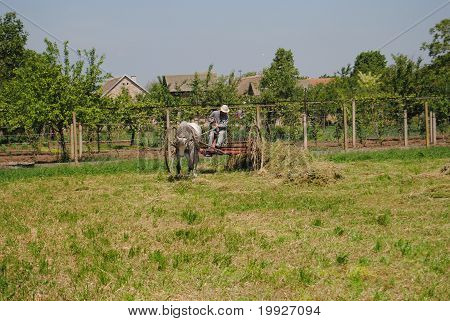 collecting hay
