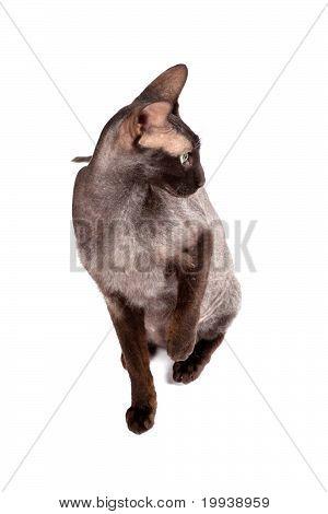 Black Cat Sphinx