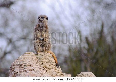 Meercat Looking Cute