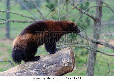 Wolverine On Log