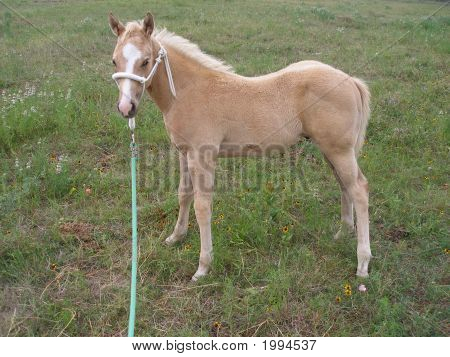 Palomino Pony Great Great Grandson Of Secretariat