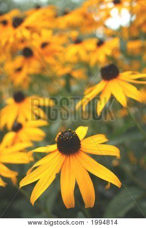 Black Eyed Blossoms