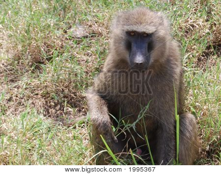Baboon On Safari