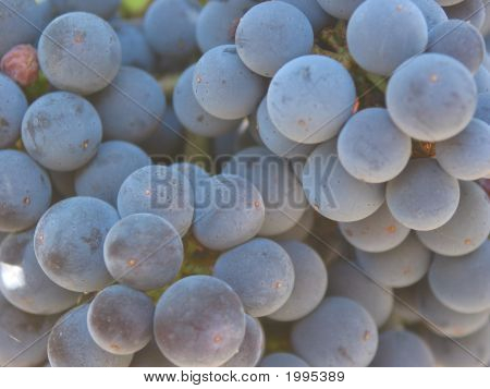 Cabernet Grapes On The Vine
