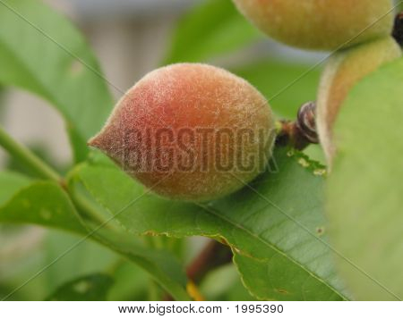 Peach On Peach Tree