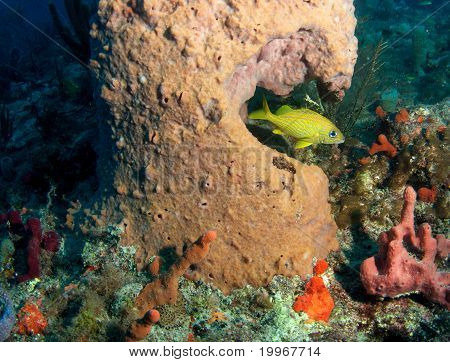 French Grunt and Barrel Sponge
