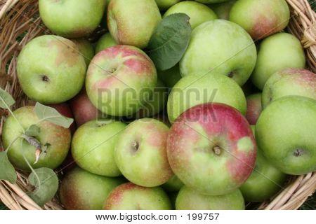 Basket Of Freshly-picked Apples