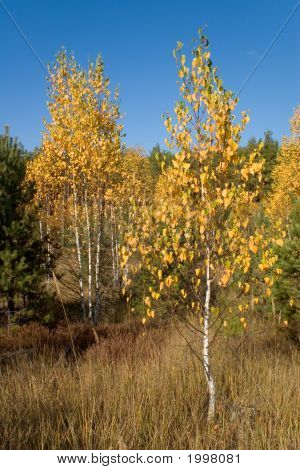 Autumn Birch With Golden Leaves