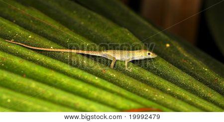 Green Anole (Anolis carolinensis)