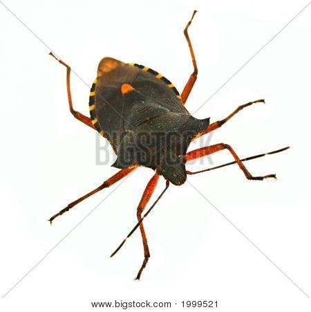 Hemiptera Bug #2