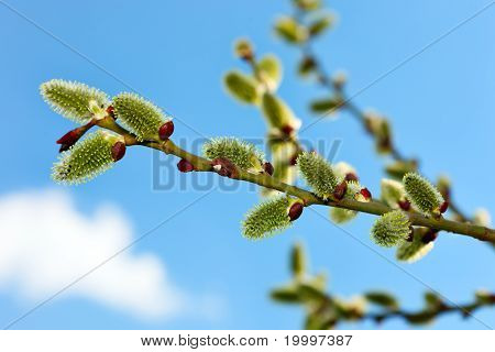 Twig Of Pussy Willow Against Blue Sky