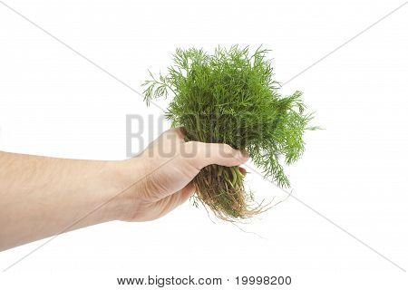fresh dill with roots