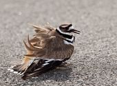 foto of killdeer  - Killdeer birds lay their eggs on the ground by the side of roads and display an aggressive posture to ward of any dangerous animals - JPG