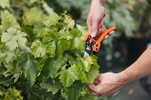Cropped Shot Of Gardener Hands Cutting Green Leaves With Pruning Shears poster