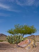 stock photo of mesquite  - Arizona desert backyard decorated with Prickly Pear cactus Mesquite Tree and boulder - JPG